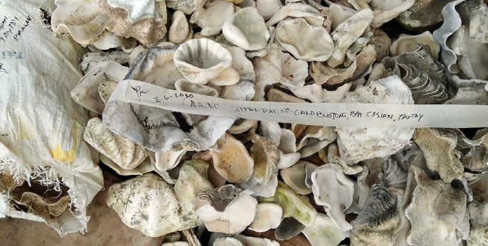 Clam Shells in Palawan